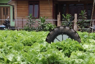 Di-Wheel amongst the lettuce